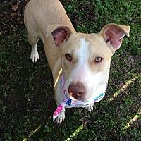 Adopt A Pet :: AnnieBelle - Glastonbury, CT