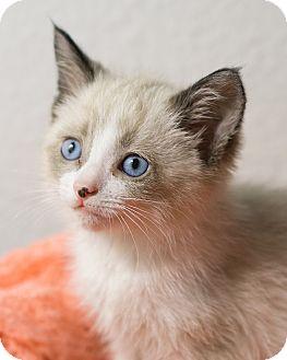 Snowshoe Kitten for adoption in Montclair, California - Smokey