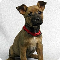 Adopt A Pet :: Candy - Westminster, CO