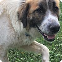 Adopt A Pet :: Aja  Pending Adoption - Tulsa, OK