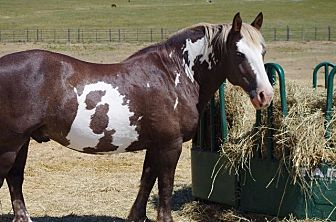 Paint/Pinto/Draft Mix for adoption in Hartville, Wyoming - Milagro