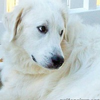 Great Pyrenees Mix Dog for adoption in Beacon, New York - Hillary in MD