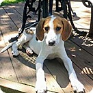 Adopt A Pet :: Norma's Pup Gendry