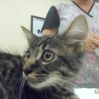 Domestic Shorthair/Domestic Shorthair Mix Cat for adoption in Palm Coast, Florida - Deserae