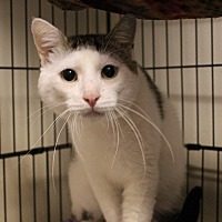 Adopt A Pet :: felix - Muskegon, MI