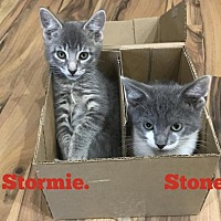 Adopt A Pet :: Stormie - Land O Lakes, FL