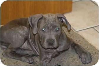 Pit Bull Terrier/Mastiff Mix Puppy for adoption in DFW, Texas - Zena