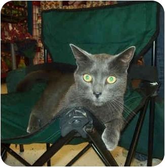 Russian Blue Cat for adoption in Brighton, Michigan - Smokey