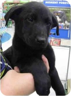 Labrador Retriever/German Shepherd Dog Mix Puppy for adoption in Muskogee, Oklahoma - Ebony