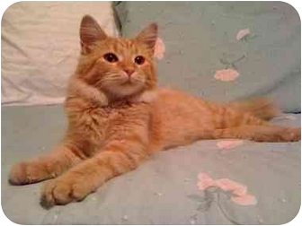 Domestic Mediumhair Cat for adoption in Mesa, Arizona - Pumpkin
