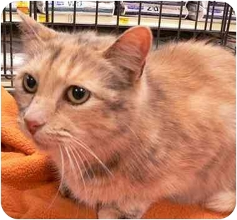 Calico Cat for adoption in Putnam Valley, New York - Spat
