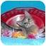 Photo 1 - Siamese Kitten for adoption in Taylor Mill, Kentucky - JuneBug