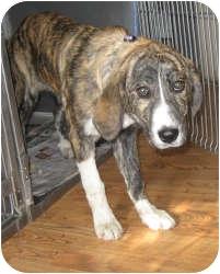 Plott Hound Mix Puppy for adoption in Port Jefferson Station, New York - Tia