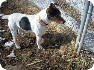 Jack Russell Terrier Dog for adoption in Omaha, Nebraska - Jimmy