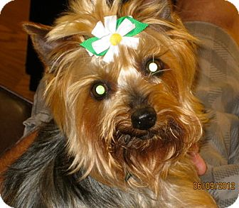 Silky Terrier/Yorkie, Yorkshire Terrier Mix Dog for adoption in North Benton, Ohio - Sidney