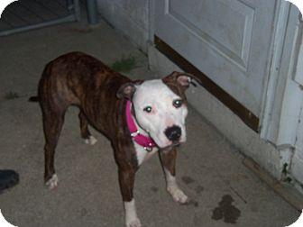 American Staffordshire Terrier/American Bulldog Mix Dog for adoption in Warren, Michigan - Julia