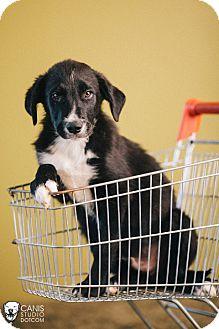 Australian Cattle Dog/Border Collie Mix Puppy for adoption in Portland, Oregon - Baxter