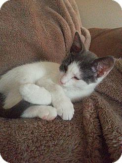 Domestic Shorthair Kitten for adoption in Riverside, Rhode Island - Eli