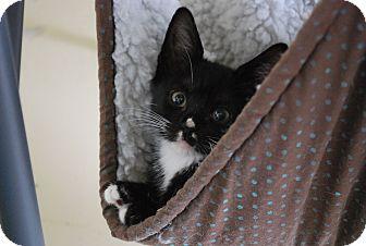 Domestic Shorthair Kitten for adoption in Trevose, Pennsylvania - Clover