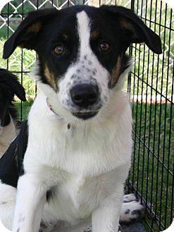 Border Collie Mix Puppy for adoption in Killian, Louisiana - Layla