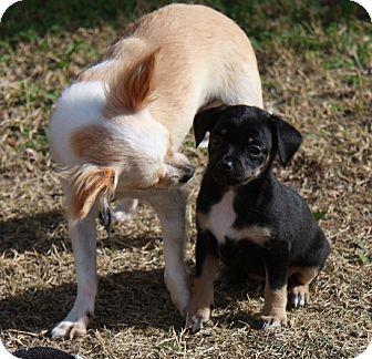 Papillon/Chihuahua Mix Puppy for adoption in Gilbert, Arizona - Kiley