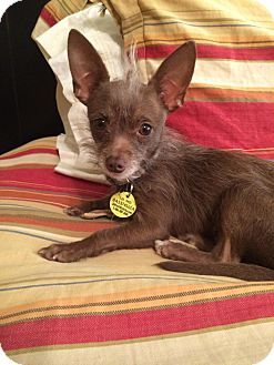 Chihuahua/Yorkie, Yorkshire Terrier Mix Dog for adoption in Astoria, New York - Link