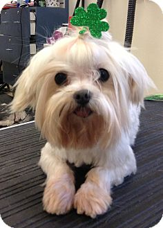 Maltese Dog for adoption in Fairview Heights, Illinois - Irv