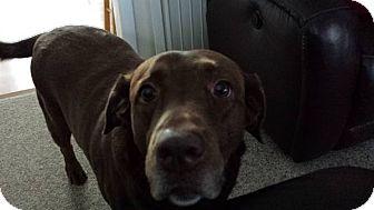 Labrador Retriever Mix Dog for adoption in Acushnet, Massachusetts - Samantha