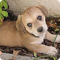 Adopt A Pet :: Lannister - La Habra Heights, CA