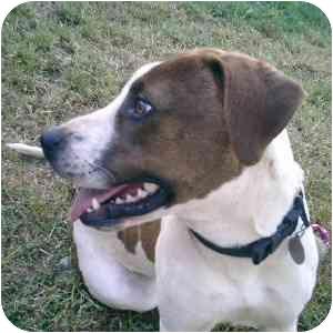 American Staffordshire Terrier Mix Dog for adoption in Berkeley, California - Jodi