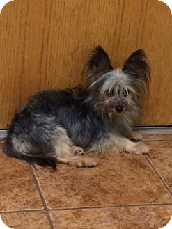 Yorkie, Yorkshire Terrier/Papillon Mix Dog for adoption in Fort Worth, Texas - CHORKIE