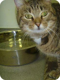 Domestic Shorthair Cat for adoption in Hamburg, New York - Jingle
