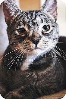 Domestic Shorthair Cat for adoption in Prescott, Arizona - Buttons