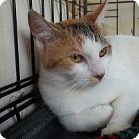 Adopt A Pet :: BooBoo - Acme, PA