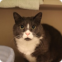 Domestic Mediumhair Cat for adoption in New York, New York - Dolly