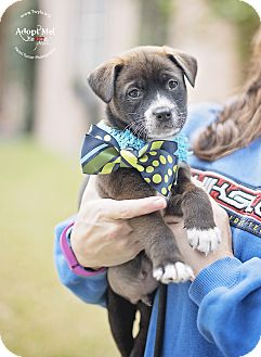 Australian Cattle Dog Mix Puppy for adoption in Kingwood, Texas - Tubby
