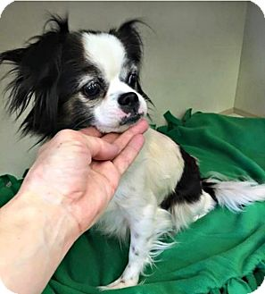 Pekingese/Pomeranian Mix Dog for adoption in Wallingford Area, Connecticut - Sheba