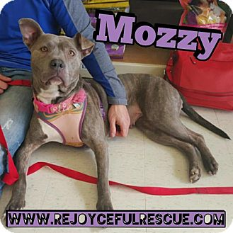 Pit Bull Terrier/American Staffordshire Terrier Mix Dog for adoption in Mt. Clemens, Michigan - Mozzy