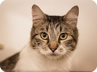 Domestic Shorthair Cat for adoption in Dallas, Texas - Kayla
