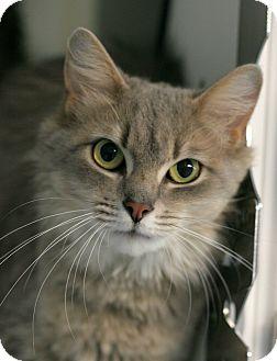 Domestic Mediumhair Cat for adoption in Staunton, Virginia - Fluffy