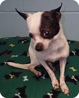 Chihuahua Dog for adoption in Orlando, Florida - Brooklyn