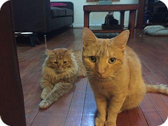 Maine Coon Cat for adoption in Arlington, Virginia - Rusty & Bo-