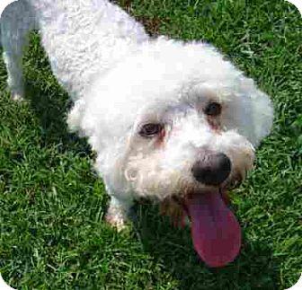Bichon Frise/Poodle (Miniature) Mix Dog for adoption in Texarkana, Texas - Cary Grant ADOPTED MA