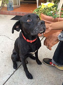 Labrador Retriever/Pit Bull Terrier Mix Dog for adoption in Studio City, California - Buddy