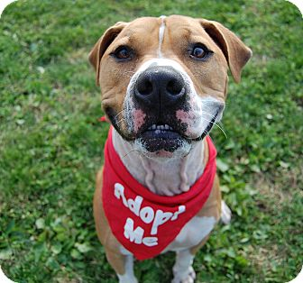 American Bulldog/Boxer Mix Dog for adoption in Wilmington, Delaware - Titan