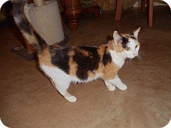 Calico Cat for adoption in Evans, West Virginia - Mia