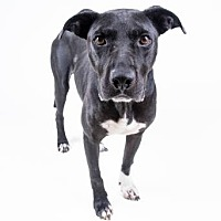 Adopt A Pet :: Beau - Decatur, GA