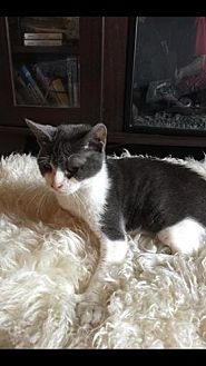 Domestic Shorthair Cat for adoption in St. Cloud, Florida - Milo