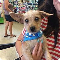 Adopt A Pet :: Winston - Brea, CA