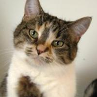Domestic Shorthair/Domestic Shorthair Mix Cat for adoption in Appleton, Wisconsin - Sadie